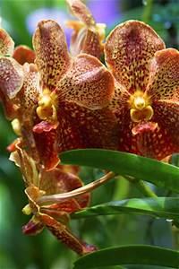 Luftwurzeln Bei Orchideen : orchideen vermehren ableger kindel und teilung ~ Frokenaadalensverden.com Haus und Dekorationen
