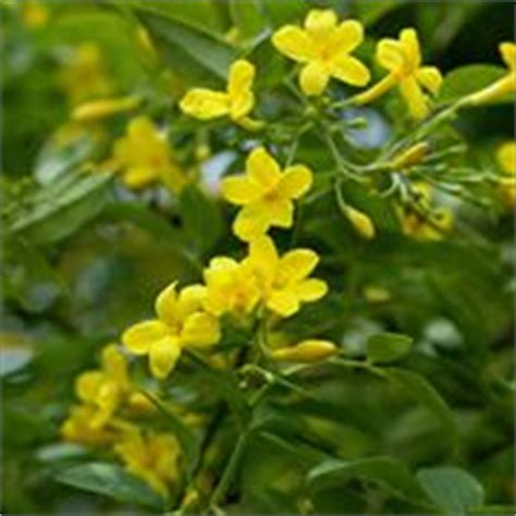 fiori di san giuseppe edgeworthia chrysantha piante da giardino coltivare
