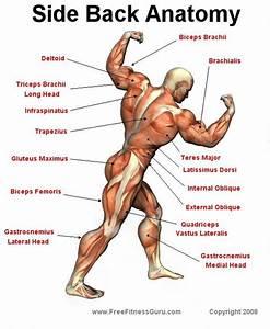 Side Back Anatomy | Personal Training | Pinterest ...