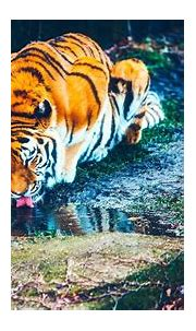 Beautiful Wallpaper Full Hd Tiger Images pictures