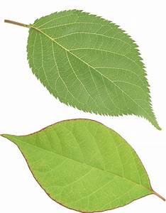 Single Green Leaves Clipart Png - ClipartXtras