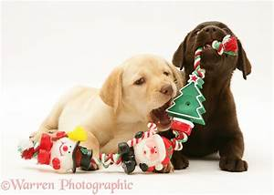 Dogs: Retriever pups chewing Xmas decorations photo WP16817