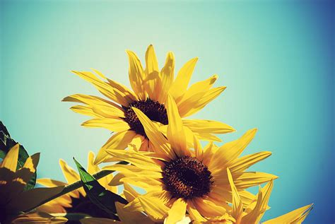 Sun Flower Walpaper Hd Desktop Wallpapers 4k Hd