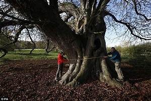 Conker tree in Benjamin Disraeli's former home is biggest ...