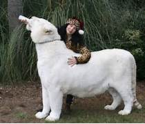 White Liger Cubs white ligers   is it possible   White Liger Cubs