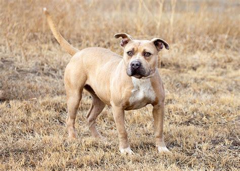 bloodhound pitbull mix