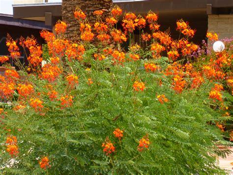Arizona Drought Tolerant Bush Shrub Along Roads  Tjs Garden