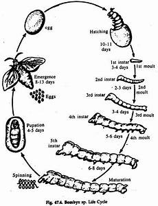 Bombyx Mori  Life Cycle And Culture  With Diagram
