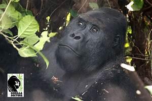 Drastic Decline of Grauer's Gorillas in Eastern Democratic ...