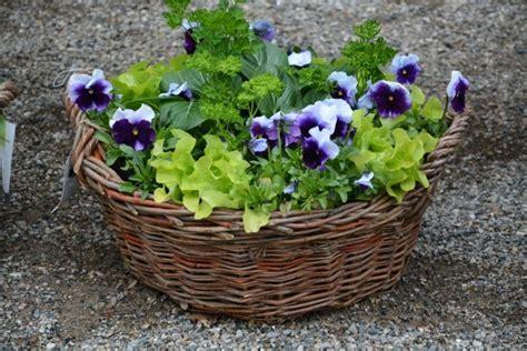 Stiefmütterchen Sind Wunderschöne Und Pflegeleichte Pflanzen