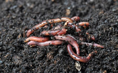 worms for garden worm grunting the age tradition of charming worms out