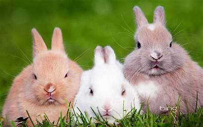 Bunnies Animals Nature Wallpapers Pets Definition Updated