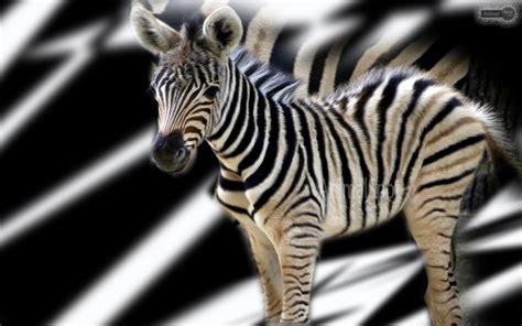 Zebra Wallpapers – Animal Spot