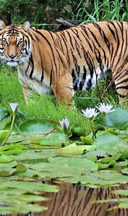 Bengal Tiger | Jukani Wildlife Sanctuary, Plettenberg Bay ...