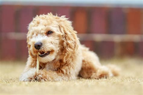 does maltipoo shed hair maltipoo breed information pictures characteristics