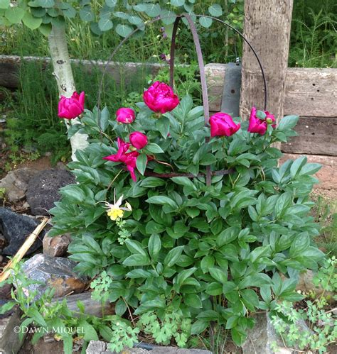 do peonies like sun or shade top 28 do peonies like sun or shade grower tips for garden intersectional and tree peonies