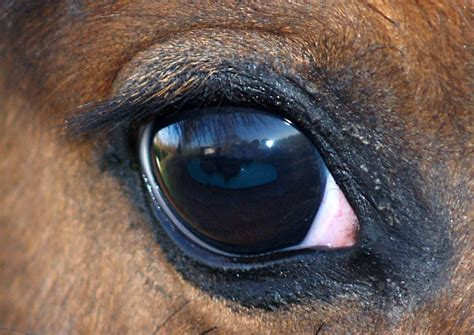 horse eye eyes horses corneal ulcer why humans panoramio animals eli5 opposed equine caballo disease normal any don most