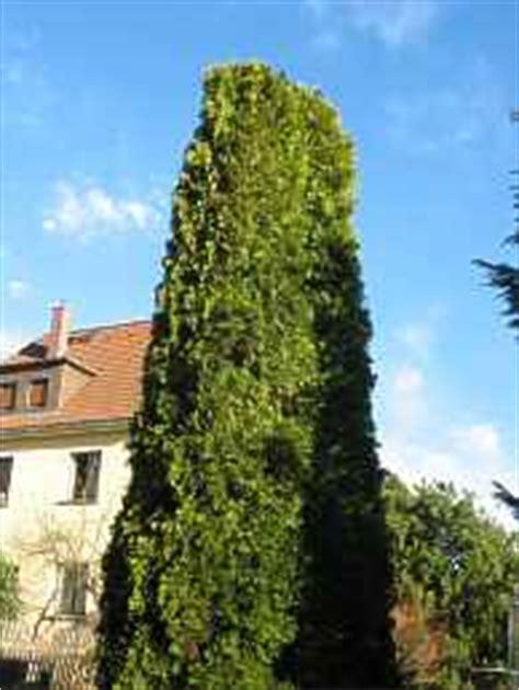 thuja stark zurückschneiden abendl 228 ndischer lebensbaum thuja occidentalis pflege schneiden standort