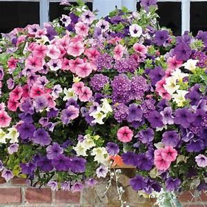 Jardiniere Fleurie Plein Soleil : collection charline surfinias et verveine avec jardini re ~ Melissatoandfro.com Idées de Décoration