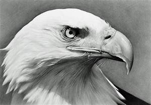 Drawn bald eagle eagle eye - Pencil and in color drawn ...
