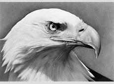 Gallery Pencil Drawings Of Bald Eagles, Drawings Art