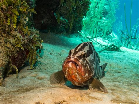 grouper nassau fishing fish lobster eat banned tci months three dining week striped