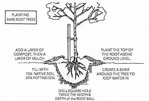 How To Plant Bare Root Trees