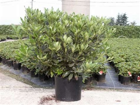 plant pots for sale assortiment rhododendron wuloplant grote maten