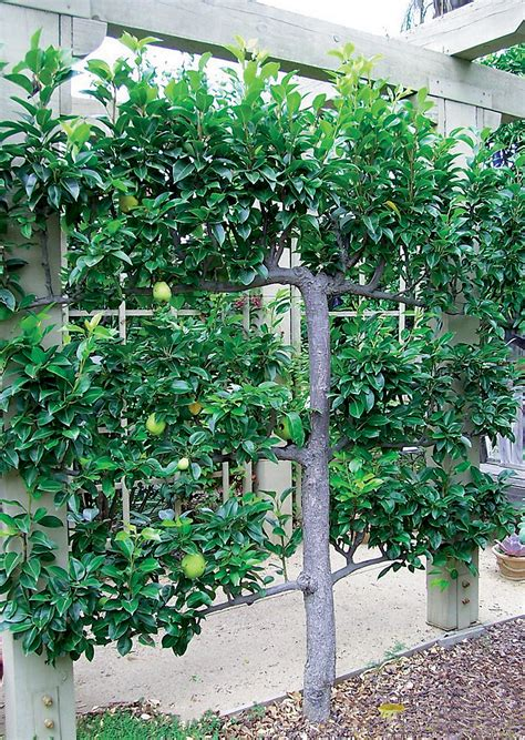 pear espalier pacific horticulture society a sun drenched garden in upland