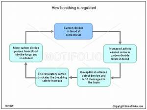 How Breathing Is Regulated Illustrations