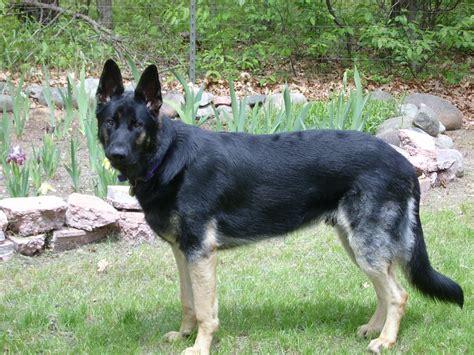 german shepherd kennel purebred german shepherd puppies