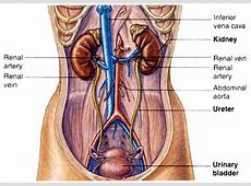 Human Anatomy Diagram Human Anatomy Kidney Location