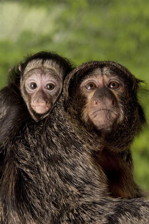 monkey saki baby zoo marcelo monkeys mother tags oregon durham michael babies primates oregonzoo