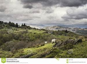 Sheep On Rolling Hillside Landscape In Lake District In ...