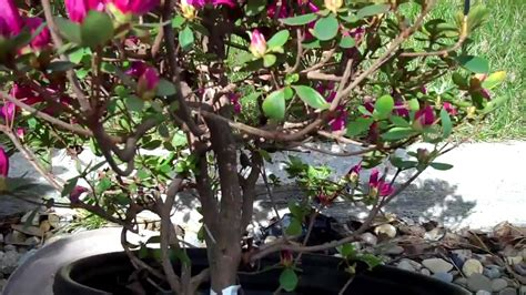 how to create azalea bonsai from a nursery plant part 1