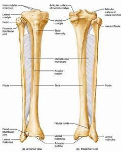 The Right Tibia And Fibula  6