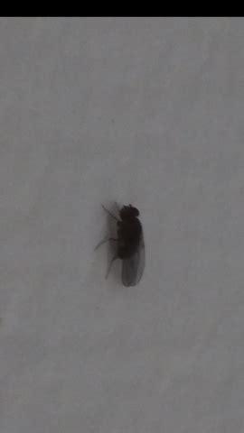 wie werde ich sie los welches insekt k 246 nnte das sein und wie werde ich sie los gesundheit und medizin tiere fliegen