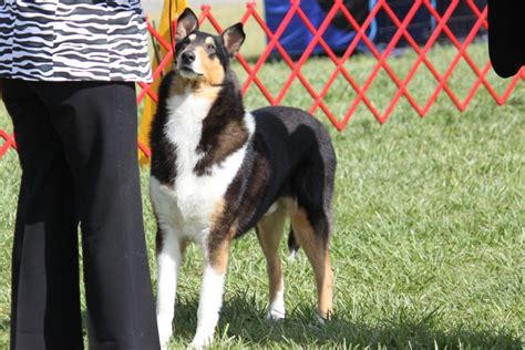 collie smooth  rough coat breed information collie