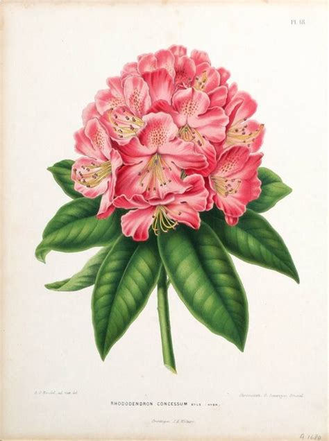 how to draw a rhododendron rhododendron drawing google search body art pinterest virginia drawings and flower