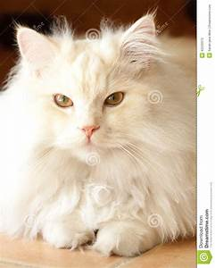 Adorable White And Apricot Persian Ragdoll Cat Stock Image ...