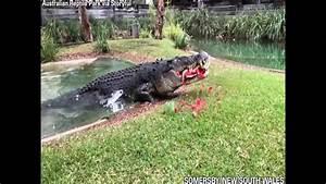 U0026 39 Cranky U0026 39  Crocodile Eats Watermelon In One Powerful Bite