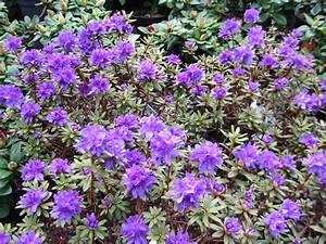 Rhododendron Braune Blätter : japanische azaleen halbimmergr n moorbeetpflanzen ~ Lizthompson.info Haus und Dekorationen