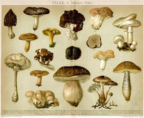 Weißer Pilz Im Garten Essbar by Retro Bib Seite Aus Brockhaus Konversationslexikon