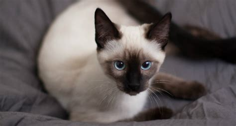 Siamese Cat Everything You Need To Know About The Breed