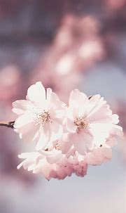 Free HD Pink Flowers iPhone Wallpaper For Download ...0479