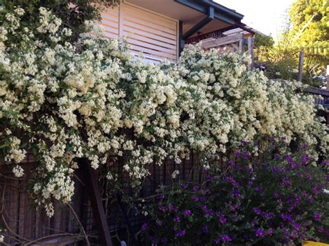 Fragrant White Climbers