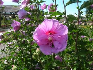 Rose of Sharon Bushes Pictures