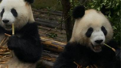 Giphy Panda
