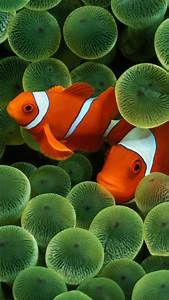 Iphone, Clownfish, 4k, Wallpapers