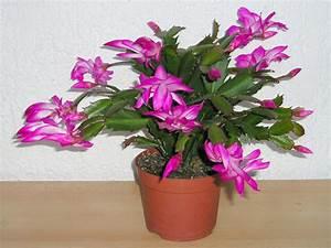 Hydrokultur Shop Online : schlumbergera consigli coltivazione e cura del cactus di natale ~ Markanthonyermac.com Haus und Dekorationen